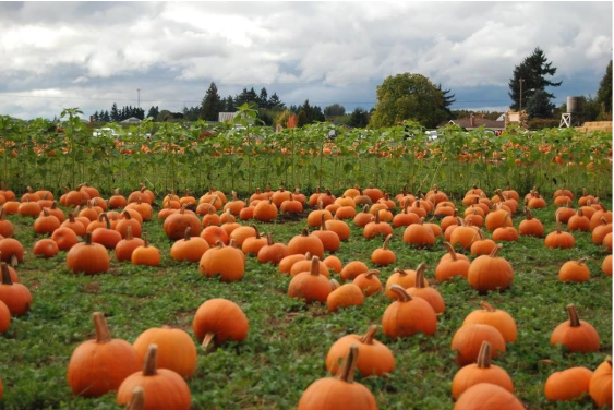 A green field with lots of pumpkins