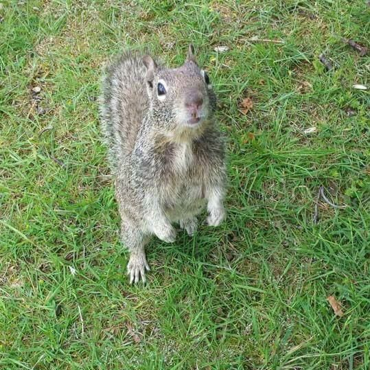 A squirrel sits on the grass.