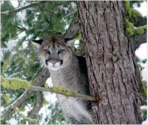 A cougar in a tree